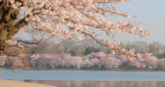 Washington DC tidal basin surrounded by cherry blossom trees in full bloom